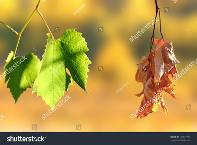 Two leaves, one green and the other lifeless and brown